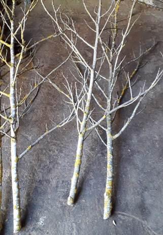 Árboles y ramas para decoración Woodna: Maderas Naturales