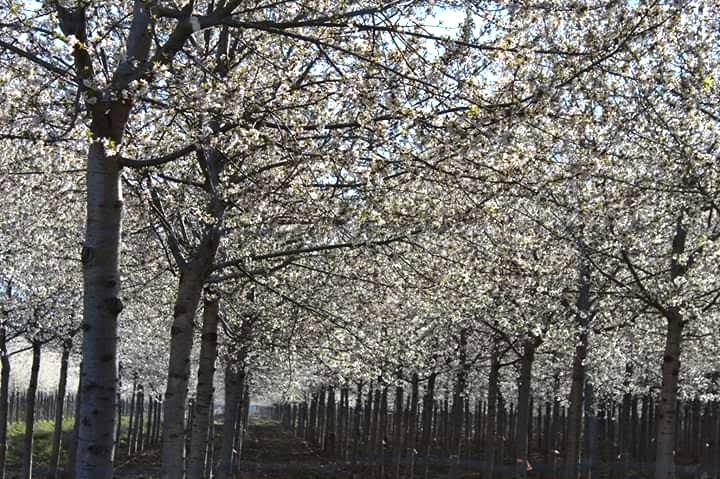Floración del Cerezo - Woodna: Maderas Naturales