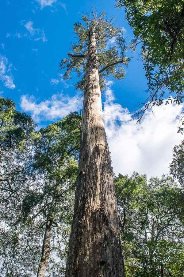 Los árboles más altos del mundo - Woodna: Maderas Naturales