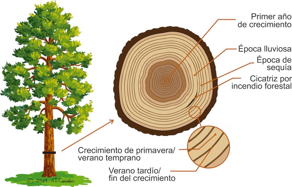 El árbol más viejo del mundo y el hombre barbudo de Rembrandt - Woodna: Maderas Naturales